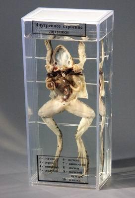 Влажный препарат Внутреннее строение лягушки