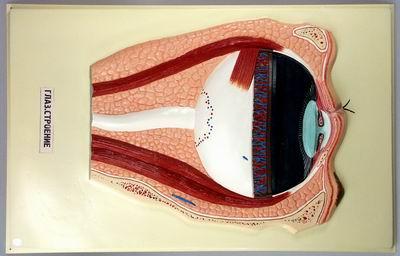 Барельефная модель Глаз. Строение