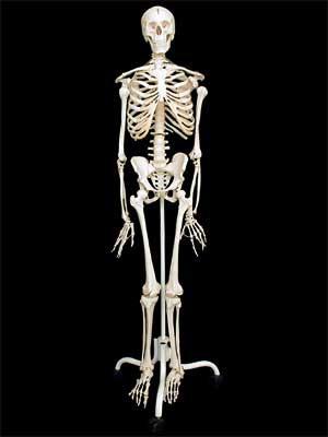 Модель Скелет человека 170 см