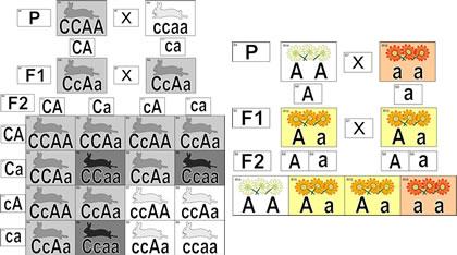 Модель-аппликация Неполное доминирование и взаимодействие генов