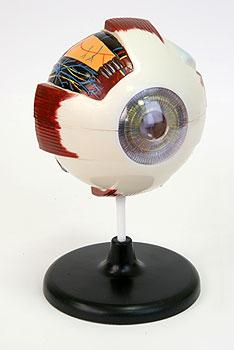 Модель Глазное яблоко