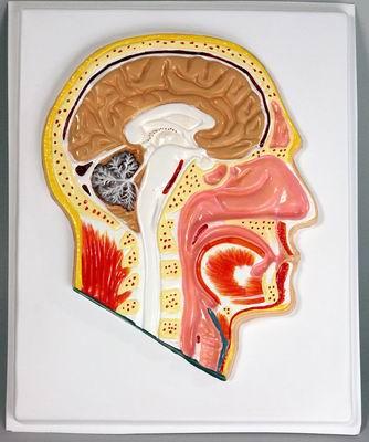 Барельефная модель Голова. Сагитальный разрез
