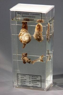 Влажный препарат Строение брюхоногого моллюска