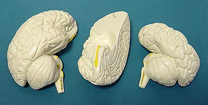 Модель мозга в разрезе