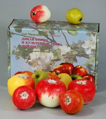 Муляжи Дикая форма и культурные сорта яблони