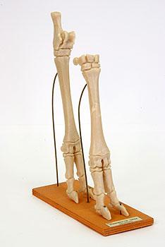 Модель Конечности овцы (скелет)