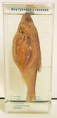 Влажный препарат Внутреннее строение рыбы
