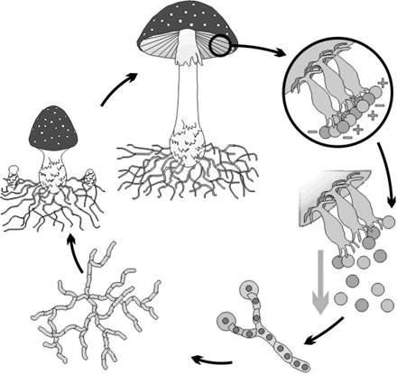 Размножение шляпочного гриба
