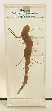 Влажный препарат Корень бобовых растений с клубеньками