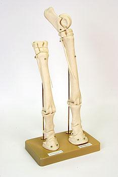Модель Конечности лошади (скелет)