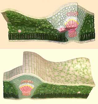 Модель строения листа